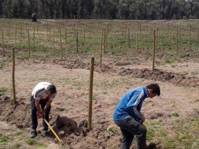 El predio está preparado, con lomadas y marco de plantación, para la llegada de 1300 ejemplares de olivo